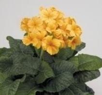 Polyanthus  Crescendo Golden  10 Seeds