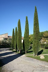 Italian Cypress Tree - 5