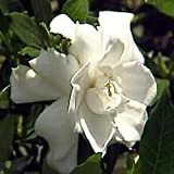 Dwarf Gardenia Plant - Bonsai or House Plant - FRAGRANT - 4'' Pot