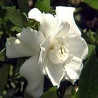 Dwarf Gardenia Plant - Bonsai or House Plant - FRAGRANT - 4