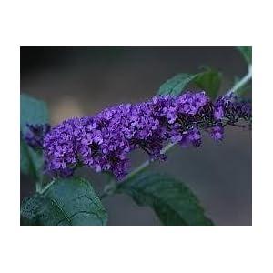 (1 Gallon) POTTER'S PURPLE Butterfly Bush - Attractive, Long Deep Purple Flower Clusters Bloom All Summer Long. Dark Green Leaves with Silvery Underside.