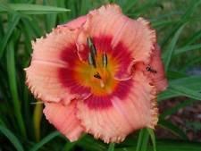 Hemerocallis - Daylily - Strawberry Candy - 1 Live Plant - DEEP Quart Pot
