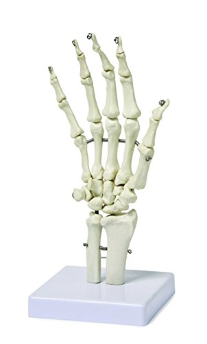 Walter Products B10210 Human Hand Skeleton Model on Base, Life Size, Articulated, 10 x 4.5 x 4.5 Inches