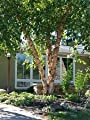 Betula nigra River Birch Tree Seeds!#greg0466
