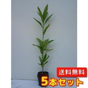 【ノーブランド品】マテバシイ樹高0.8m前後15cmポット【5本セット】 B00W4VUEGS