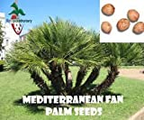 50 Mediterranean Fan Palm Seeds, (Chamaerops humilis) from Hand Picked