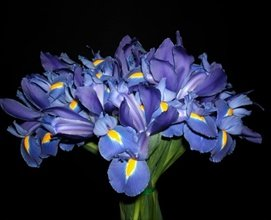 Fresh Blue Irises