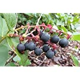The Dirty Gardener Salal/Lemon Leaf Gaultheria Shallon, 5 Seeds