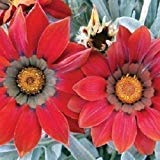 - ANVIN Germination Seeds:Gazania Kiss Frosty Red Flower Seeds (Gazania Rigens) 10Seeds (40)