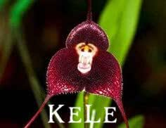 New Fresh Seeds! 100 orchid seeds,Beautiful Monkey face orchids seeds, Multiple varieties Bonsai seeds Free Shipping