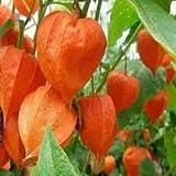 New Physalis Alkeking Franchetti - Chinese Lantern , LARGE RED / ORANGE Flower Seed PODS , 60 + Seeds !