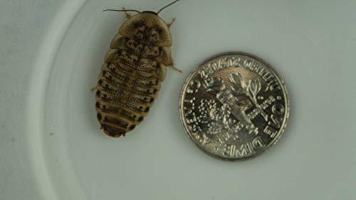 Dubia Roaches 200 Medium