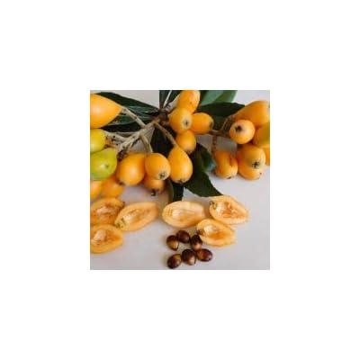 Size 12 to 16 Live (Eriobotrya Japonica) A.K.A Japanese Plum Loquat Fruit Tree, Arbol Nispero, Mispero, Loquat Tree : Garden & Outdoor