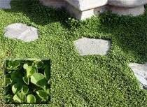 The Dirty Gardener Dichondra Ground Cover Seed - 5 Pounds