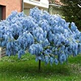 Spring Planting Stunning Live 2 Chinese Blue Weeping Wisteria Tree 18'' + Tall