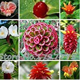 Costus Guanaiensis Flowering Plant 15 Seeds (Spiral Ginger Plant)