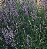 Herb Lavender Munstead Type D943 (Purple) 100 Seeds by David's Garden Seeds