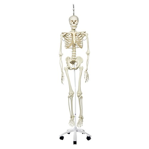3B Scientific A15/3 Plastic Physiological Human Skeleton Model