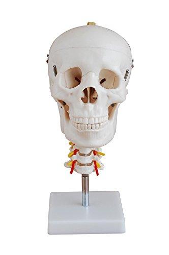 Schädel mit Halswirbelsäule auf Ständer Anatomie Modell: Amazon.de ...