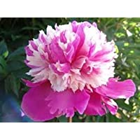 Celebrity Peony: 2-3 Eye Bareroot-- Great for Fall Planting!
