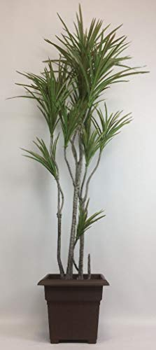 - Outdoor Artificial UV Rated 6 ft Dracaena Palm Tree with Square Brown Planter
