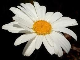 The Dirty Gardener Shasta Daisy Flowers 05 Pound Amazoncom