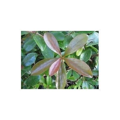 "(3 Gallon)""Bronze Beauty"" Cleyera Japonica - Evergreen with Bronze Color New Foliage : Garden & Outdoor"