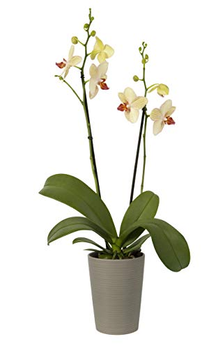 - Color Orchids Live Blooming Double Stem Phalaenopsis Orchid Plant in Ceramic Pot, 20