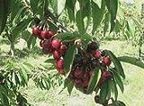 Bing Cherry Tree Five Gallon