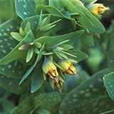 - Cerinthe Minor 'Bouquet Gold' Seeds