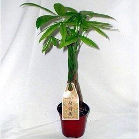 M&M BONSAI BRAIDED MONEY TREE IN TRAINING POT by M&M BONSAI