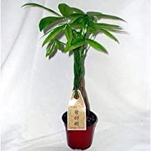 M&M BONSAI BRAIDED MONEY TREE IN TRAINING POT by M&M BONSAI