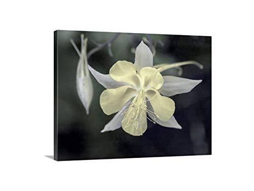 (Columbine Flower Art, Pale Yellow, Wildflower Photograph, Floral Art)