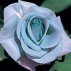 10 Blue Girl Rose Seeds