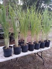 Lemongrass 5 Live Plants Tall fully rooted