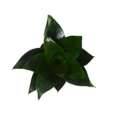 "Cheap Fresh Snake Plant 'Jade' (Sansevieria) / 6"" Pot/Live Plant Get 1 Easy Grow #HPS01YN : Garden & Outdoor"