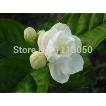 50pcs/pack Jasmine flower seeds white jasmine Seeds, fragrant plant arabian jasmine seeds