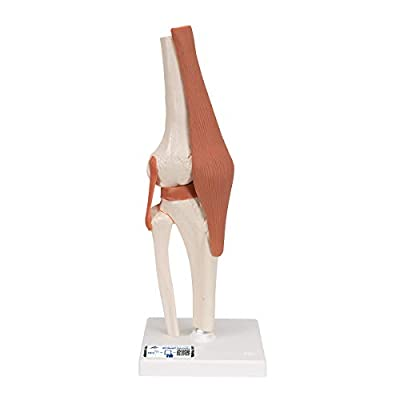 3B Scientific A82 Functional Knee Joint - 3B Smart Anatomy: Human Anatomical Models: Industrial & Scientific