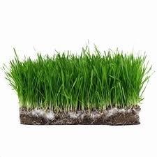 Kentucky Bluegrass Lawn (The Dirty Gardener Kentucky Bluegrass Lawn Grass - 10 Pounds)