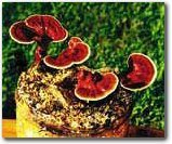 The Reishi Mushroom Garden Patch- Indoor Mushroom Growing Kit - Grow Edible Mushrooms & Fungi. Easy & Fun Mush Room Grow Kits