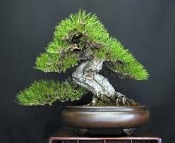 JAPANESE BLACK PINE - BONSAI STARTER - Pinus thunbergii - 3 - YEAR TREE