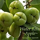 Cutdek ~Water Rose Apple~ Syzygium Aqueum Emerald Green Fruits Live Small Potted Plant