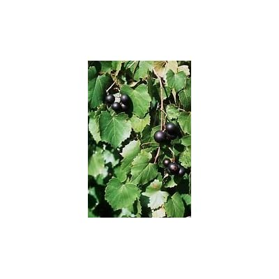 Vitis rotundifolia PURPLE MUSCADINE GRAPE Seeds! : Garden & Outdoor