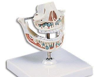 新品入荷 3B社 B003Z2TRC2 歯口腔模型 (ve282) 乳歯列モデル (ve282) B003Z2TRC2, ラディカルベース:c2eda019 --- a0267596.xsph.ru