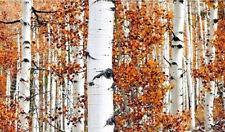White Birch Tree 500 Seeds Snow White bark, Excellent for Bonsai or Landscape