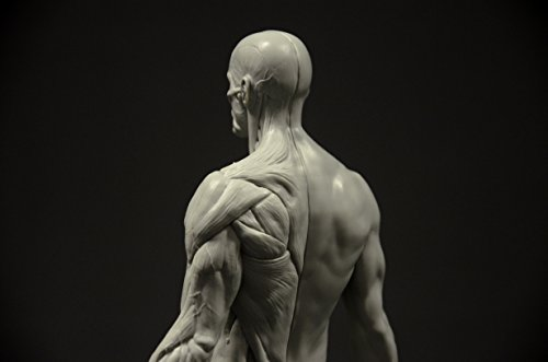 Male Anatomy Figure 11 Inch Anatomical Reference For Artists