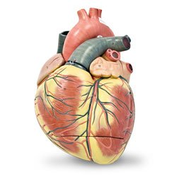Jumbo Heart Model (3-part) ()
