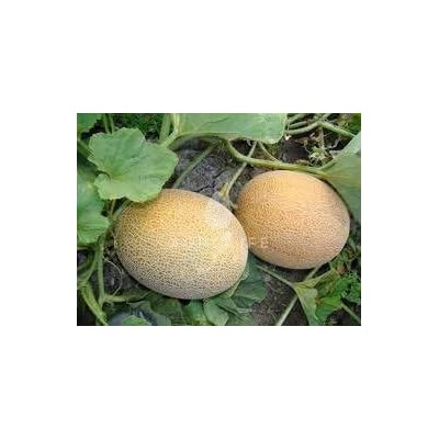 Melon Seeds Karamel Ukraine Heirloom Organic Vegetable Seeds Early : Garden & Outdoor