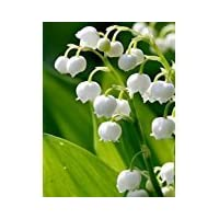 12 Lily of the Valley Hardy Perennial Plants Pips Bulbs with Roots Variable Listing