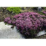 PURPLE CREEPING THYME Herb Seeds 65++ Perennial Ground Cover WALK ON ME PLANT ()